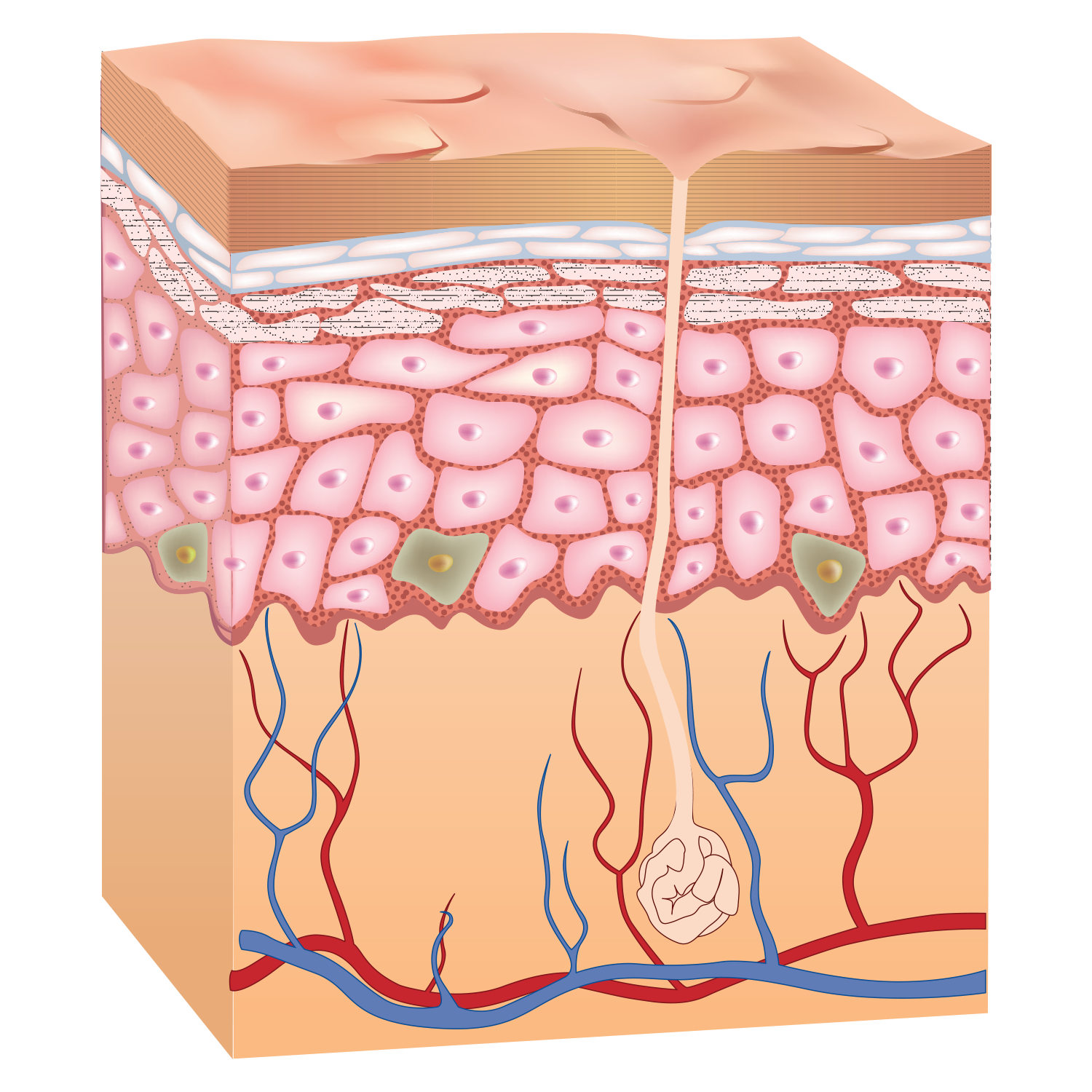 skin and layer Understanding the 7 layers of the skin google+ many people are surprised to learn that there are actually 7 layers of skini am here to show you the structure and wonders of this amazing organ and how you can properly care for it.